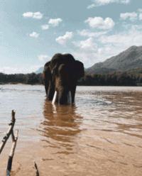 Swimming with elephants in the Mekong River, Laos